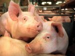 Свинячий грип – нова глобальна загроза