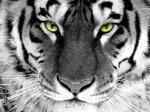 2010 рік – рік Білого (Срібного, Металевого) Тигра