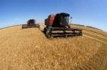 Втрати урожаю зернових внаслідок дощів в середньому по області склали 5-15%
