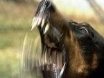 Чи потрібно панікувати від укусу тварини?