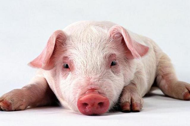 На Кіровоградщині зафіксовано африканську чуму свиней. У Світловодському районі приймають запобіжні заходи