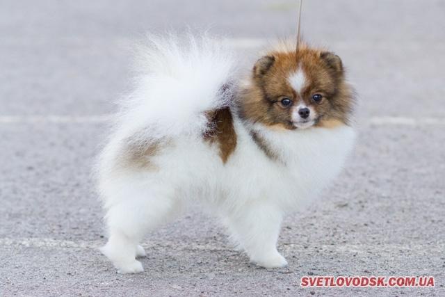 Померанський шпіц — переможець Всеукраїнської виставки собак у Світловодську