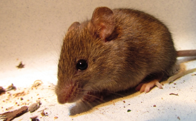 У Світловодську виявлено хворих на туляремію та лептоспіроз мишей!