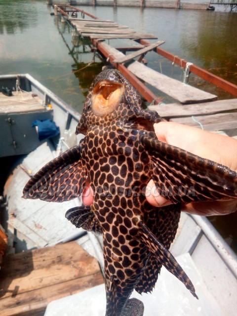 ФОТОФАКТ: У Світловодському районі впіймали незвичну рибу
