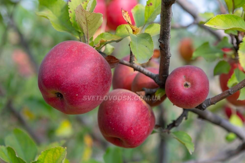 Яблуко від Григорівки недалеко котиться 2